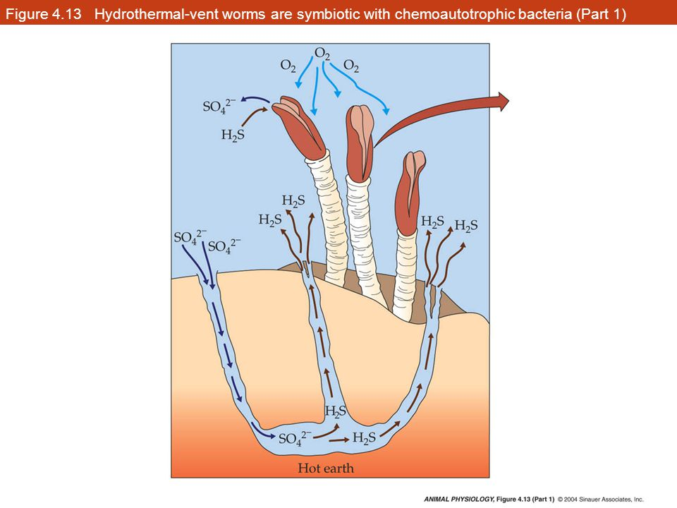 Figure 4.13 Hydrothermal-vent worms are symbiotic with chemoautotrophic bacteria (Part 1)
