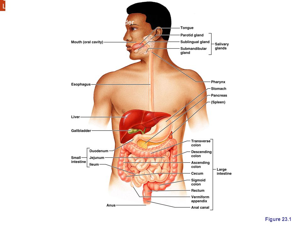 Month Esophagus Stomach Small intestine Large intestine Accessory organs Salivary glands, liver, pancreas, gall bladder