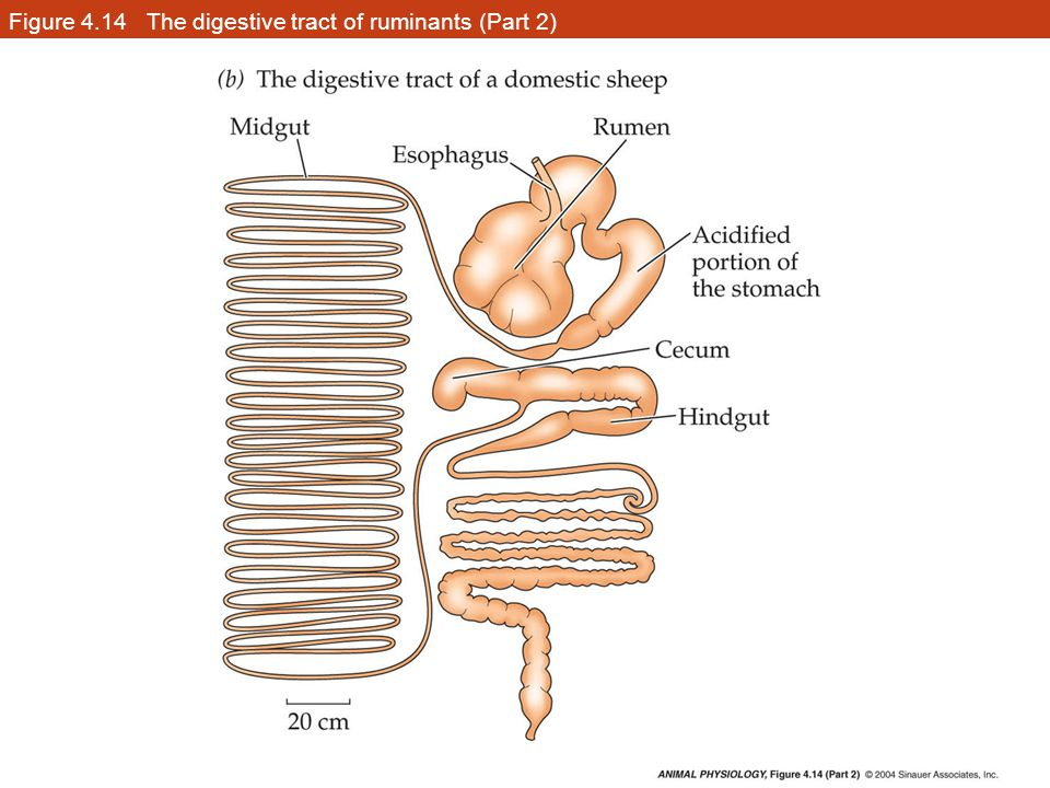 Figure 4.14 The digestive tract of ruminants (Part 2)