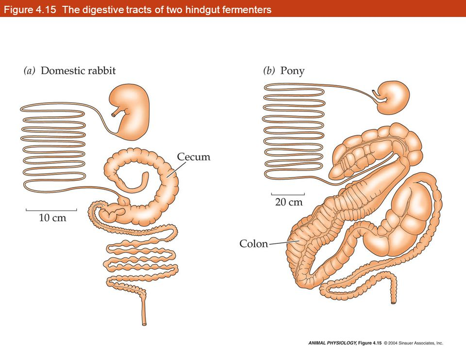 Figure 4.15 The digestive tracts of two hindgut fermenters