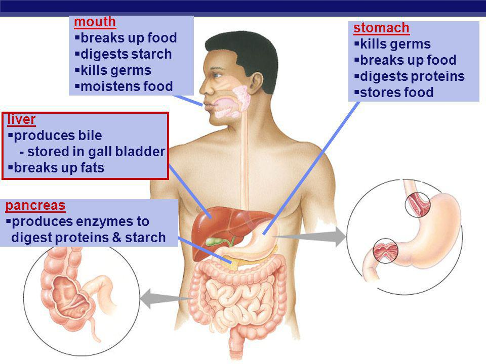mouth breaks up food. digests starch. kills germs. moistens food. stomach. kills germs. breaks up food.