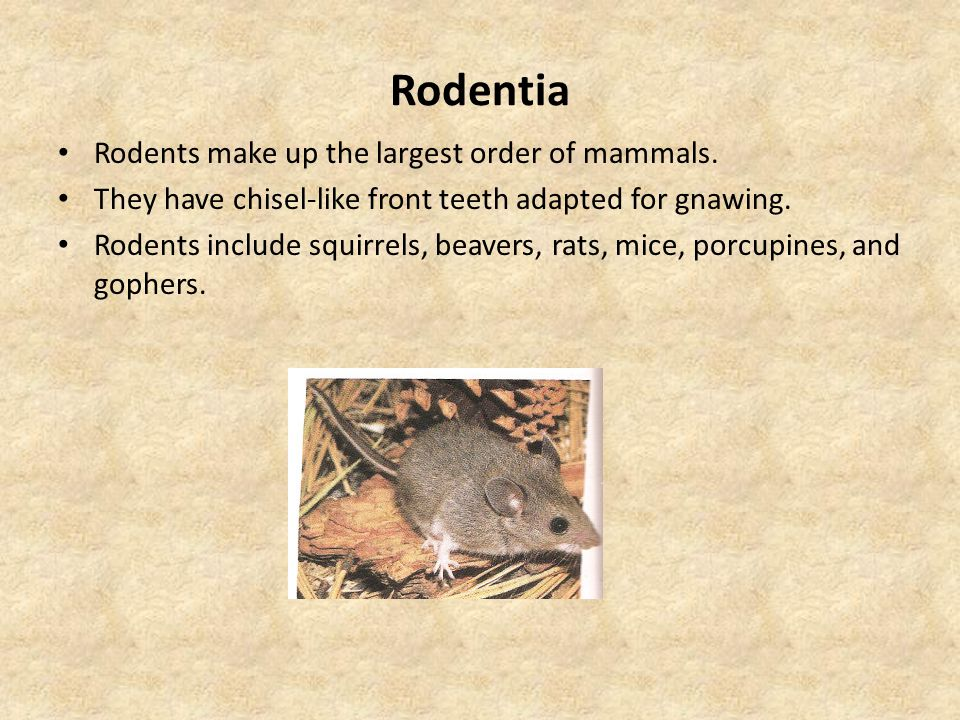 Rodentia Rodents make up the largest order of mammals.