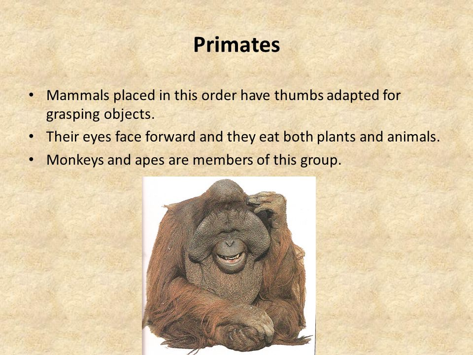 Primates Mammals placed in this order have thumbs adapted for grasping objects. Their eyes face forward and they eat both plants and animals.