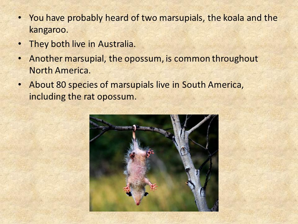 You have probably heard of two marsupials, the koala and the kangaroo.