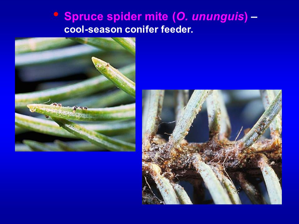 Spruce spider mite (O. ununguis) – cool-season conifer feeder.