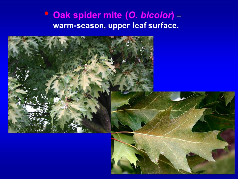 Oak spider mite (O. bicolor) – warm-season, upper leaf surface.
