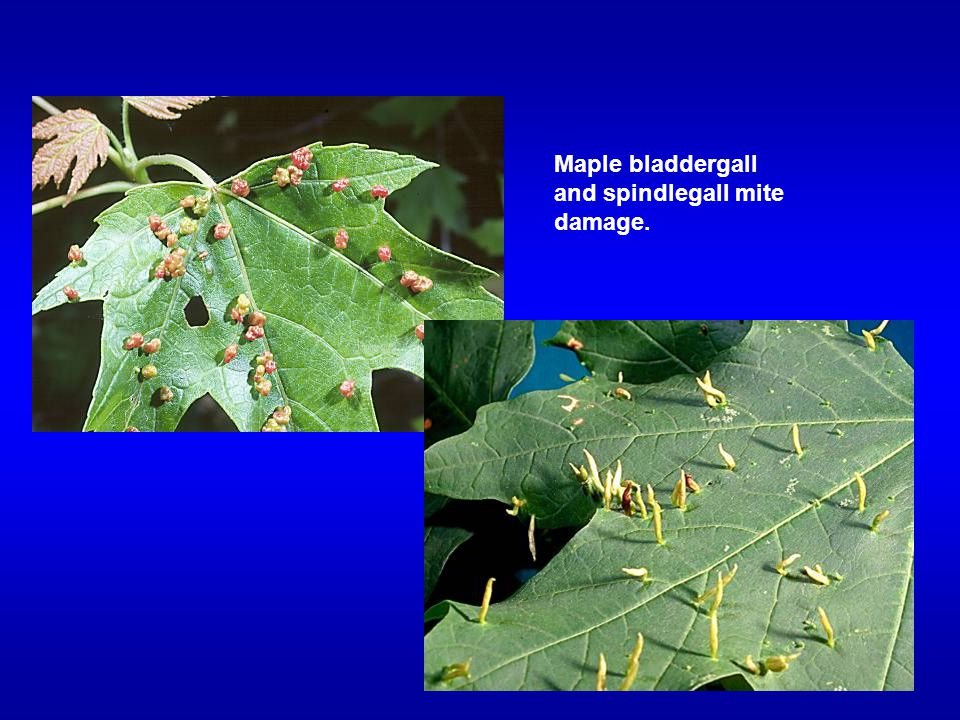 Maple bladdergall and spindlegall mite damage.