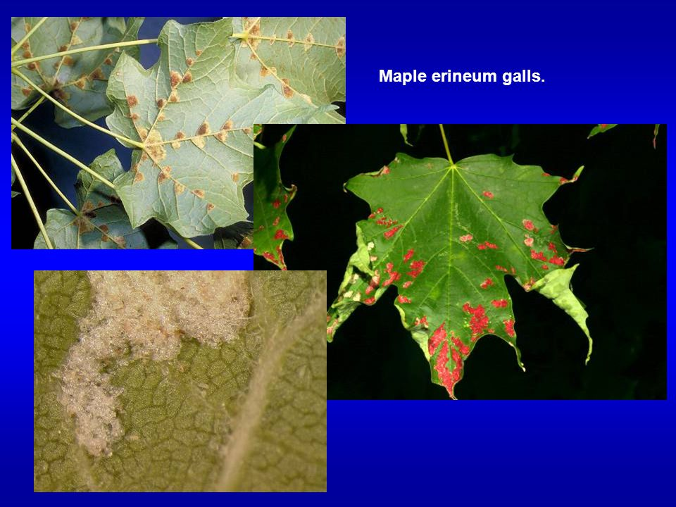 Maple erineum galls.