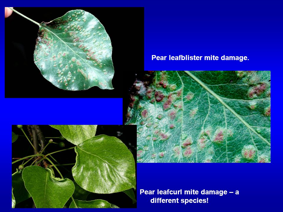 Pear leafblister mite damage.