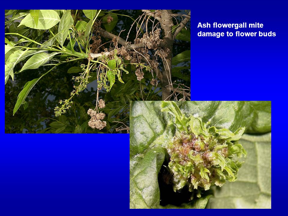 Ash flowergall mite damage to flower buds