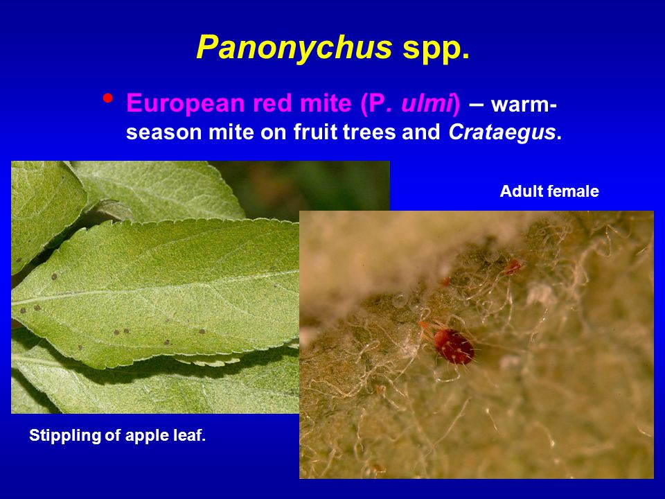 Panonychus spp. European red mite (P. ulmi) – warm-season mite on fruit trees and Crataegus. Adult female.