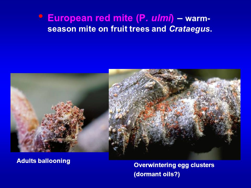 European red mite (P. ulmi) – warm-season mite on fruit trees and Crataegus.