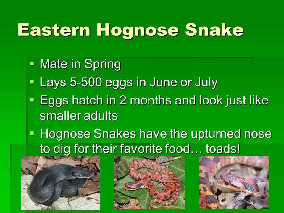 Eastern Hognose Snake Mate in Spring Lays 5-500 eggs in June or July