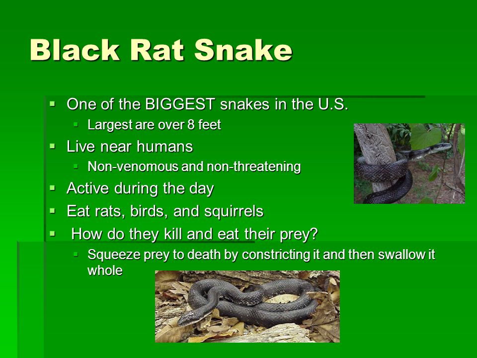 Black Rat Snake One of the BIGGEST snakes in the U.S. Live near humans
