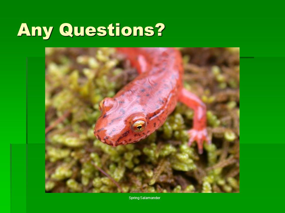 Any Questions Photo by J.D. Willson Spring Salamander