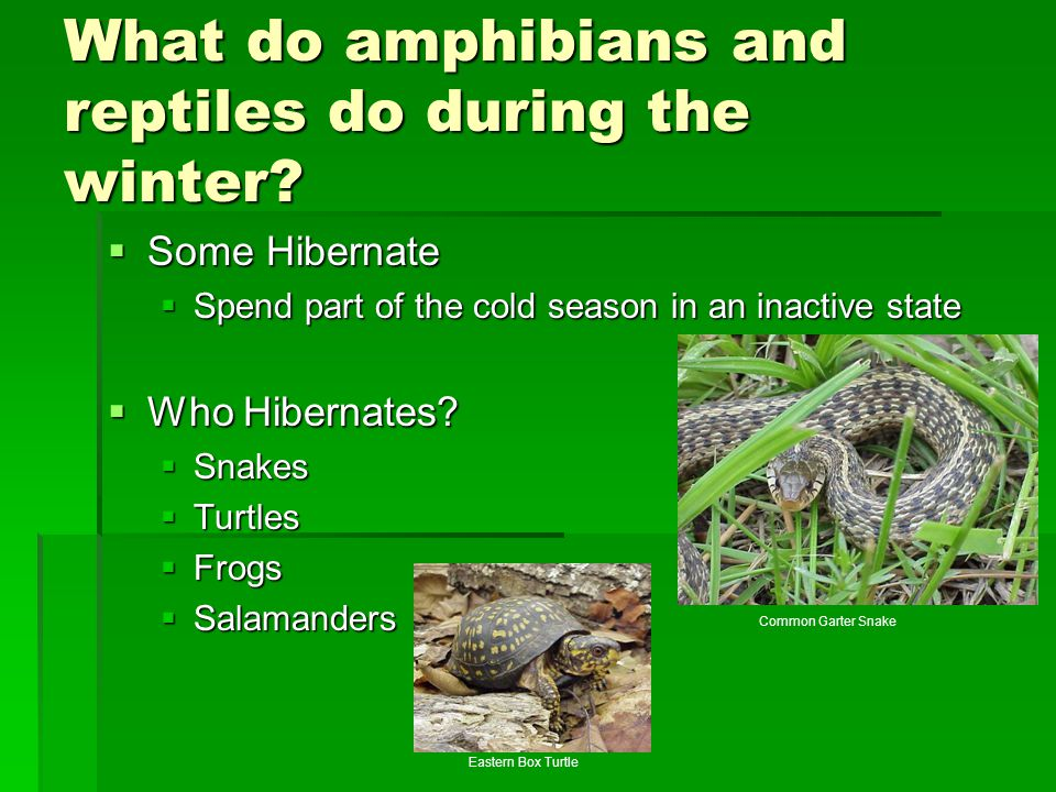 What do amphibians and reptiles do during the winter
