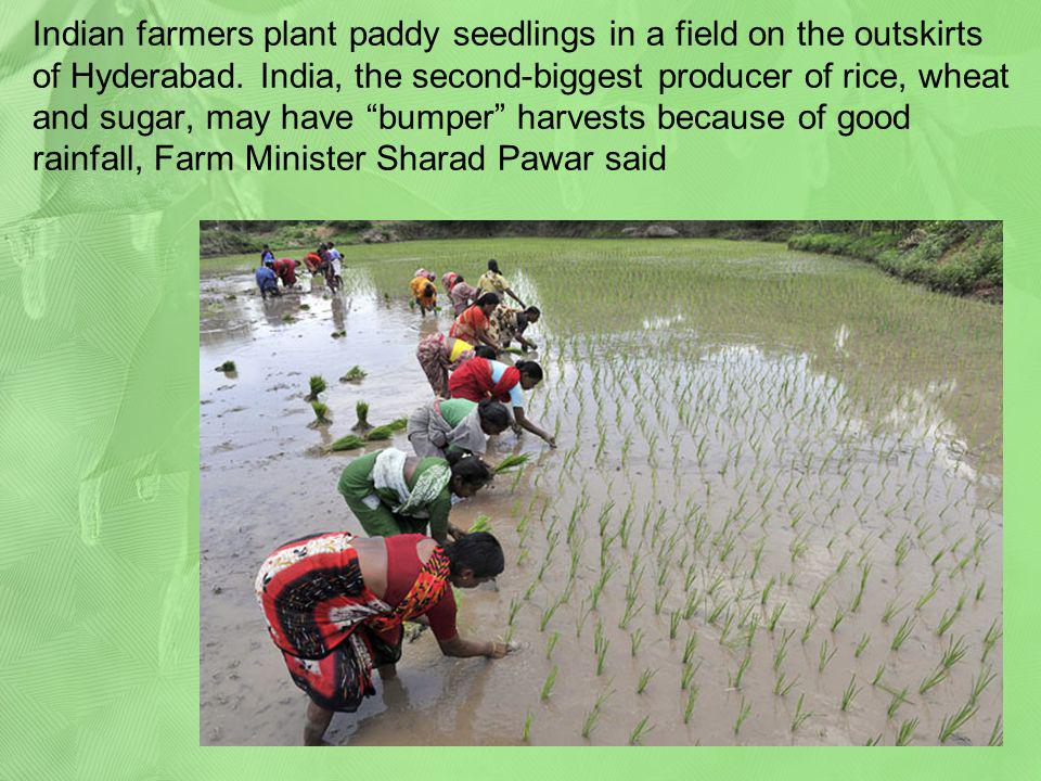 Indian farmers plant paddy seedlings in a field on the outskirts of Hyderabad.