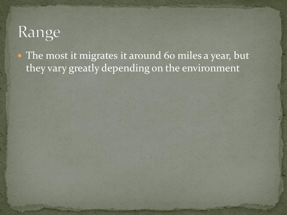 Range The most it migrates it around 60 miles a year, but they vary greatly depending on the environment.