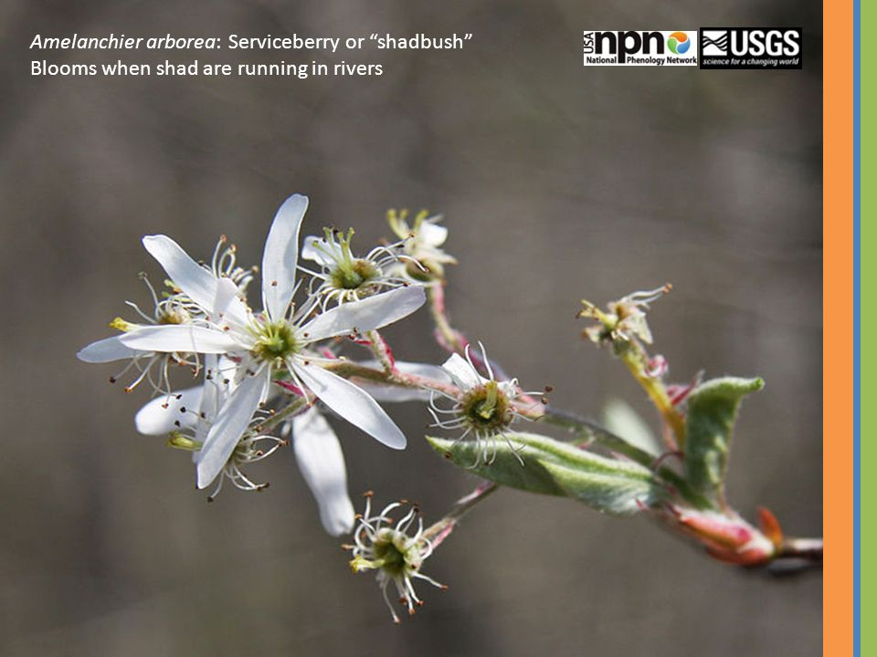 Amelanchier arborea: Serviceberry or shadbush