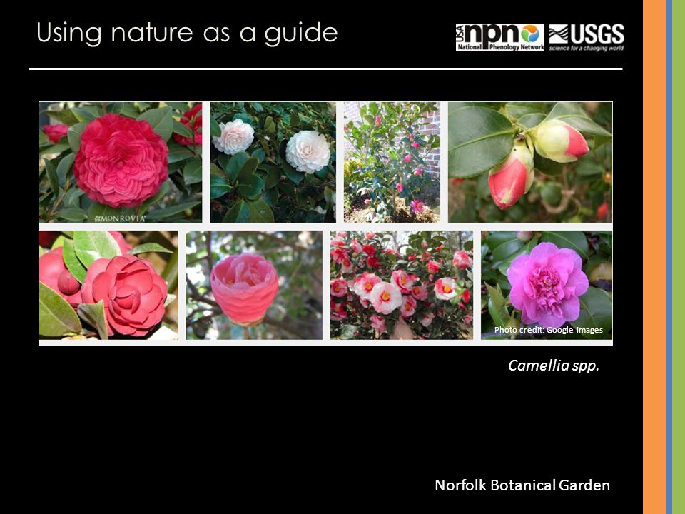Using nature as a guide Camellia spp. Norfolk Botanical Garden