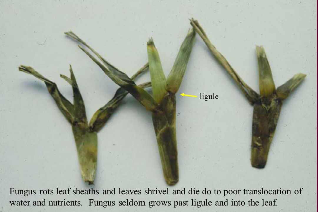ligule Fungus rots leaf sheaths and leaves shrivel and die do to poor translocation of.