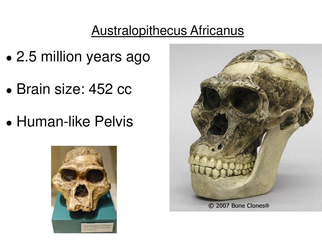 Australopithecus Deyiremeda Skull