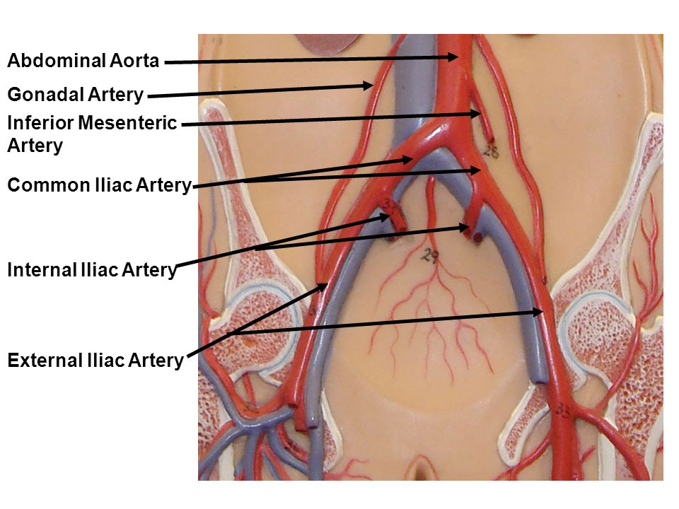 Lab Exercise: Anatomy of Blood Vessels - ppt video online download