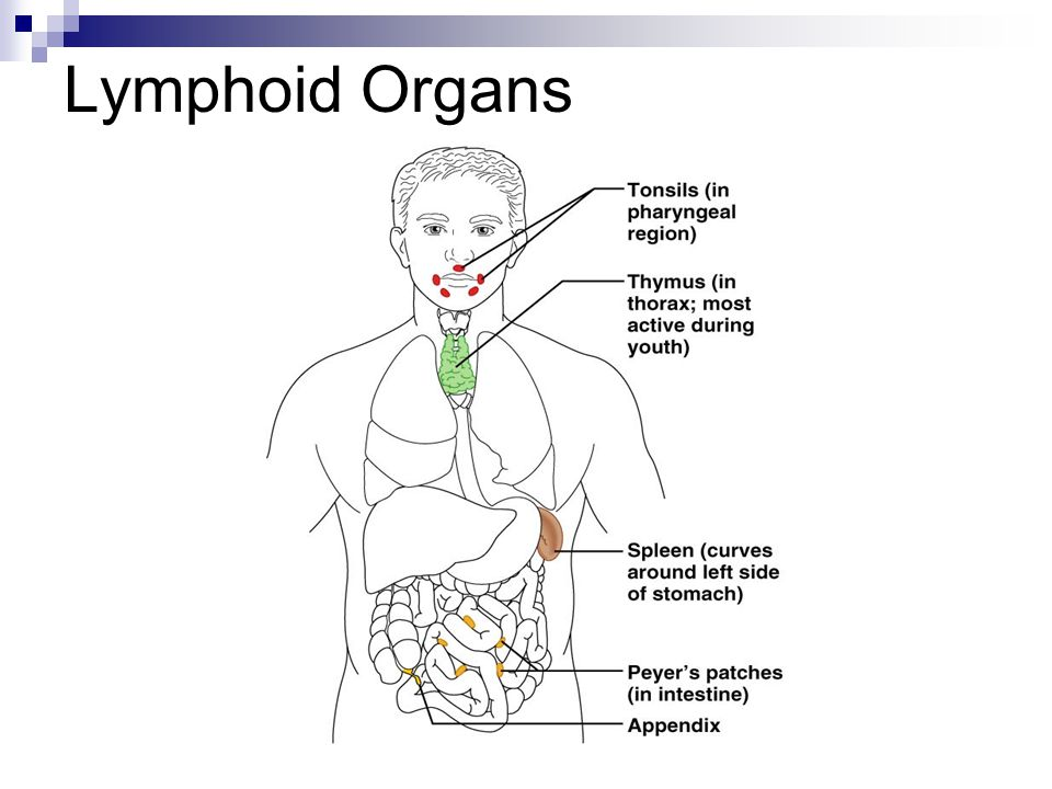 The Lymphatic System Ppt Video Online Download