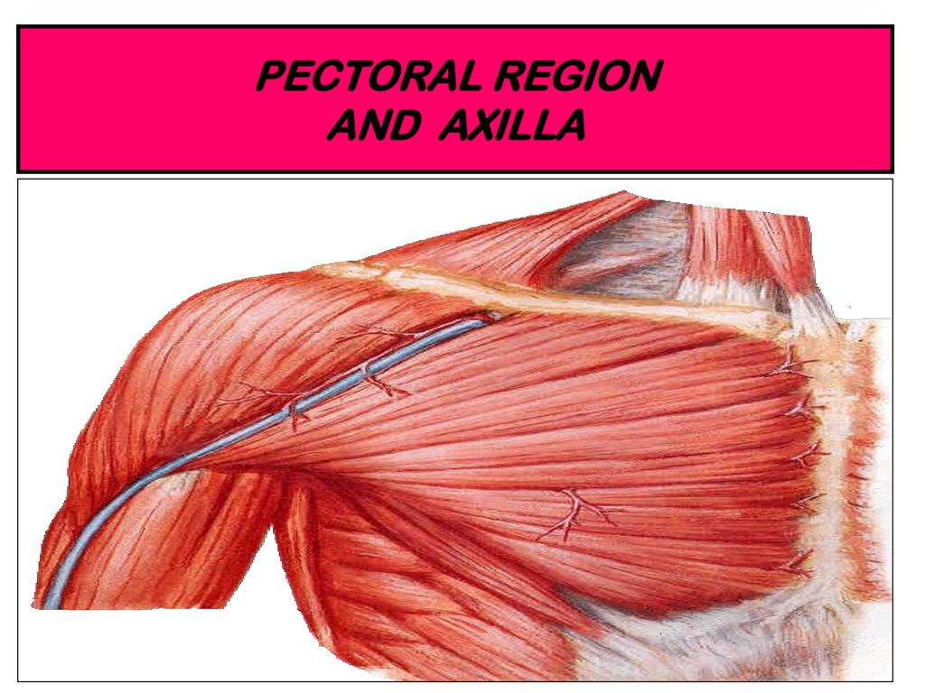 Pectoral Region And Axilla Ppt Download