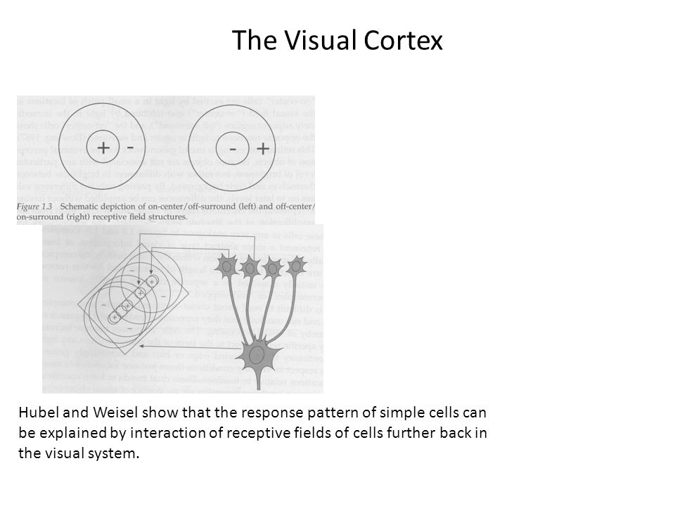 The Visual Cortex So here, we're trying to understand the orientation-specific response of a simple cell.