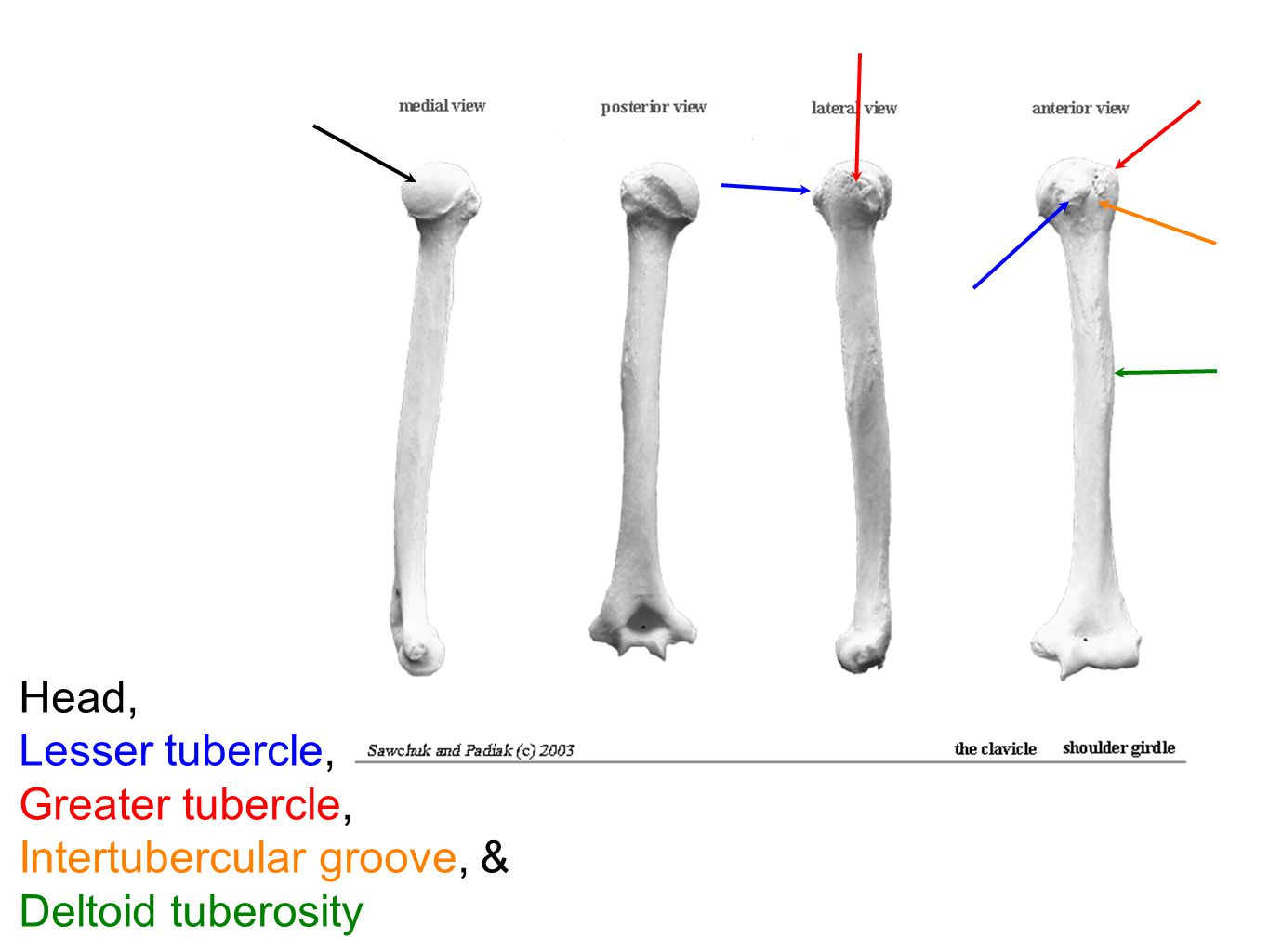 Head, Lesser tubercle, Greater tubercle, Intertubercular groove, & Deltoid tuberosity