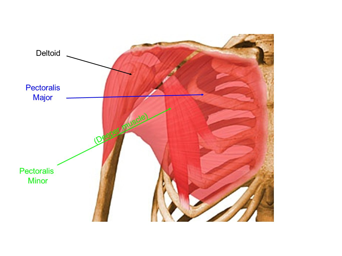 Deltoid Pectoralis Major (Deeper muscle) Pectoralis Minor