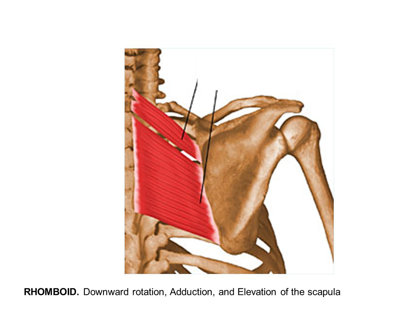RHOMBOID. Downward rotation, Adduction, and Elevation of the scapula