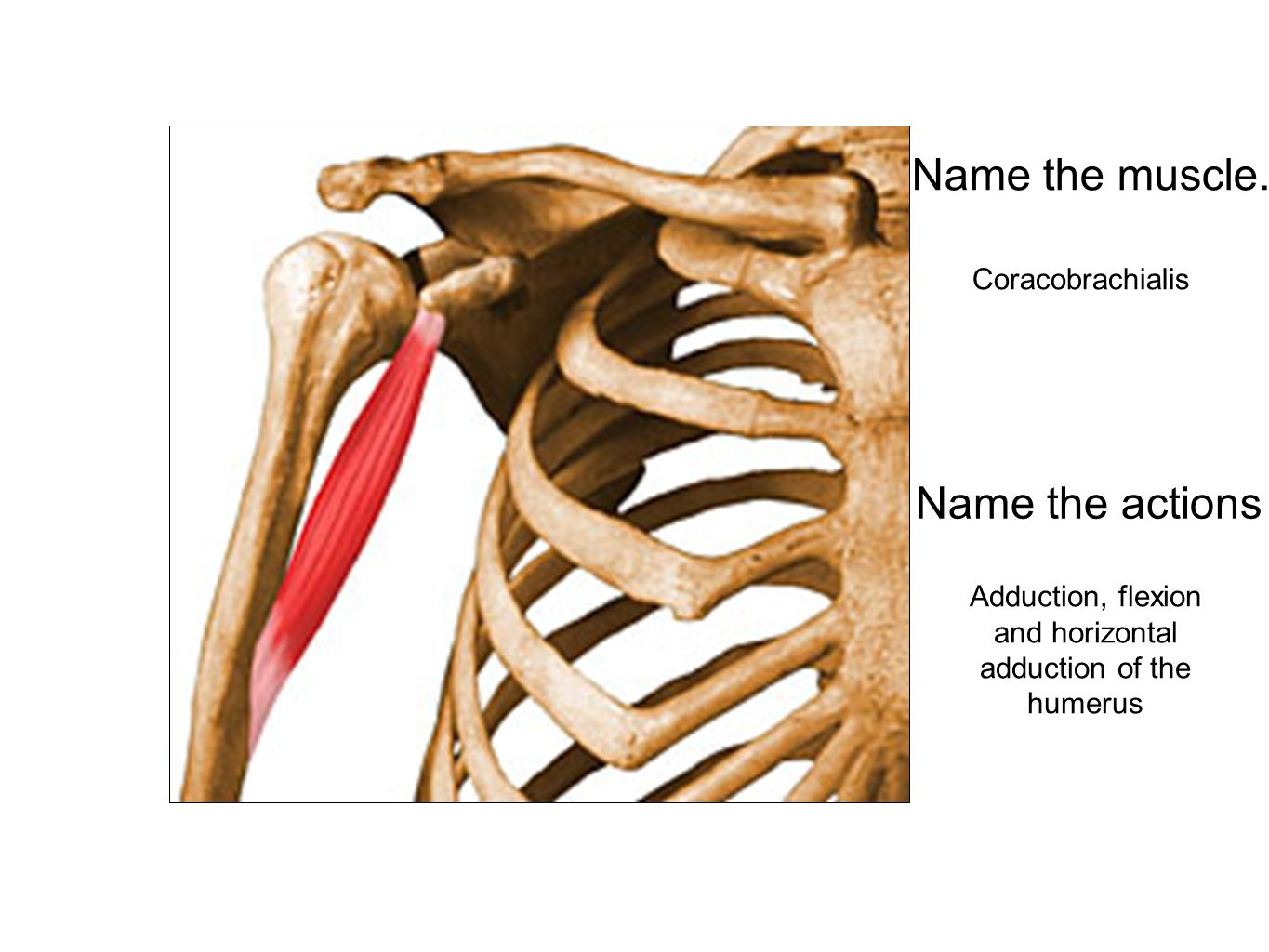 Adduction, flexion and horizontal adduction of the humerus