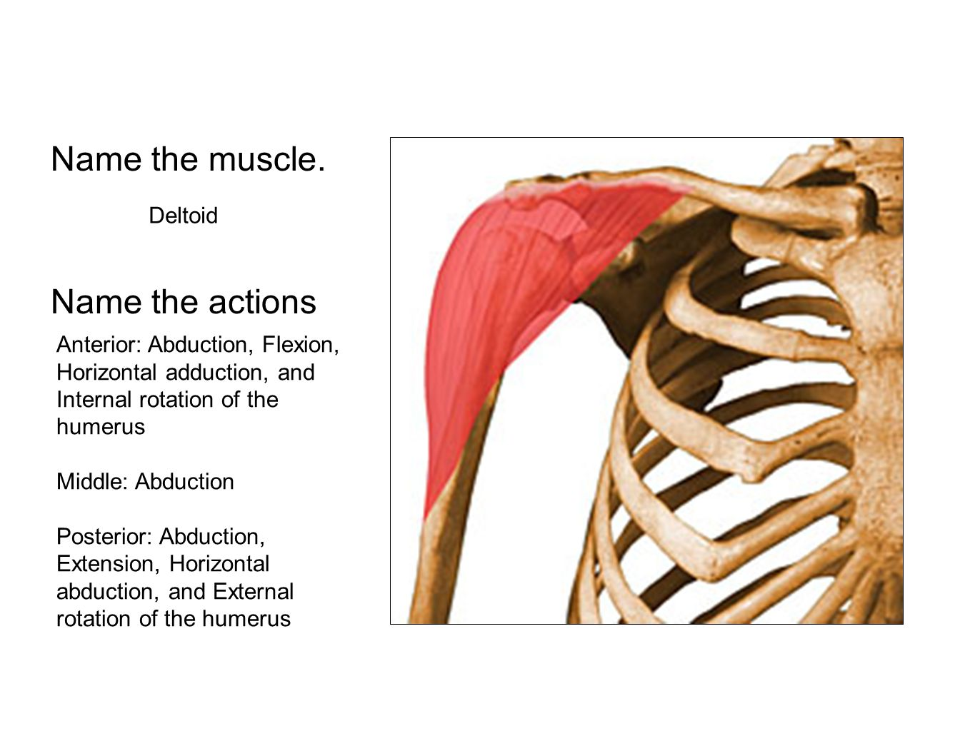 Name the muscle. Name the actions Deltoid