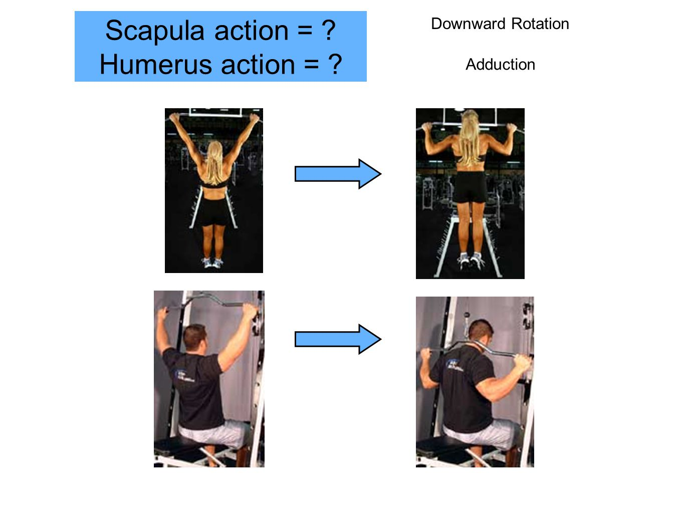 Scapula action = Humerus action = Downward Rotation Adduction