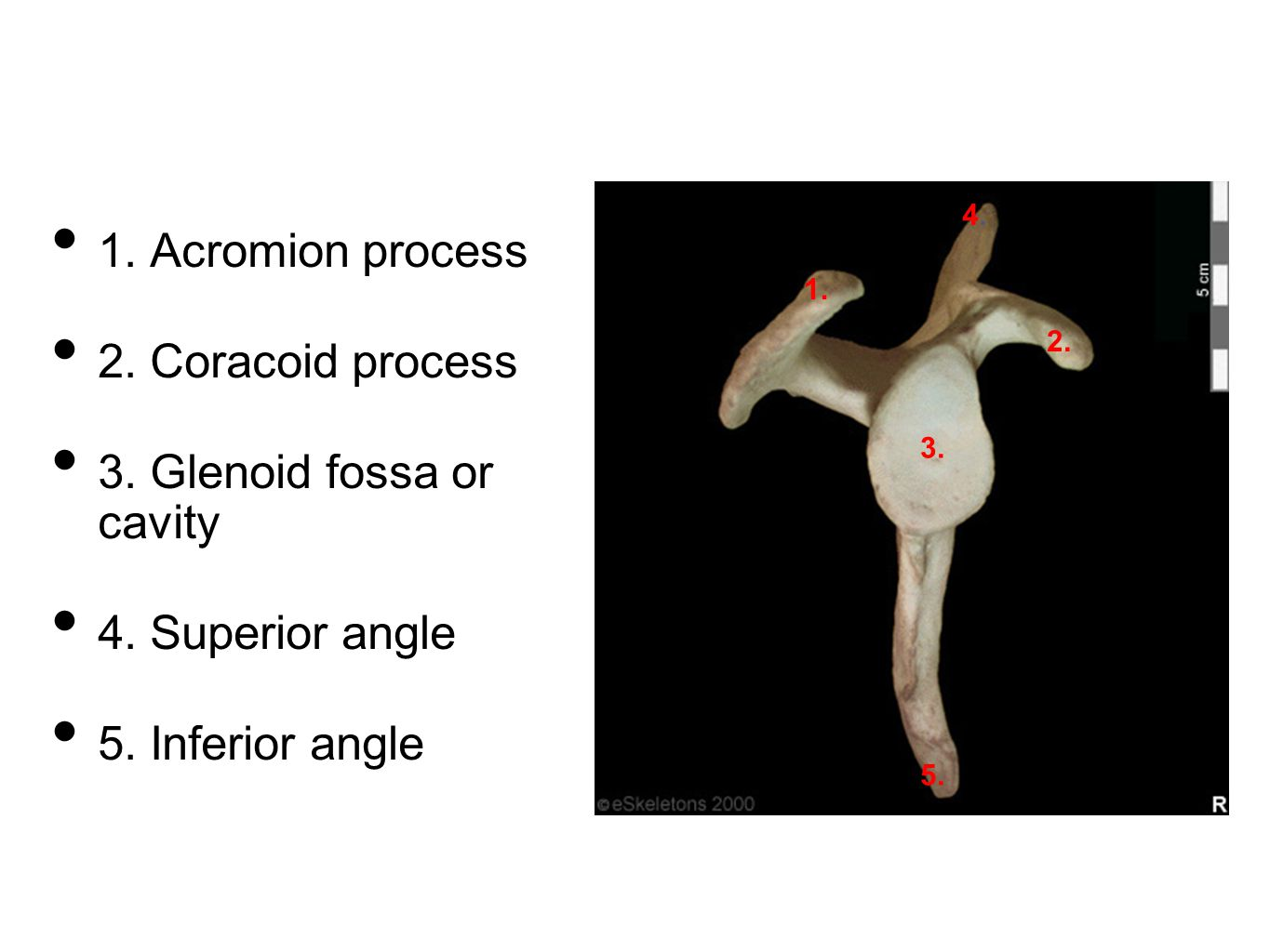 3. Glenoid fossa or cavity
