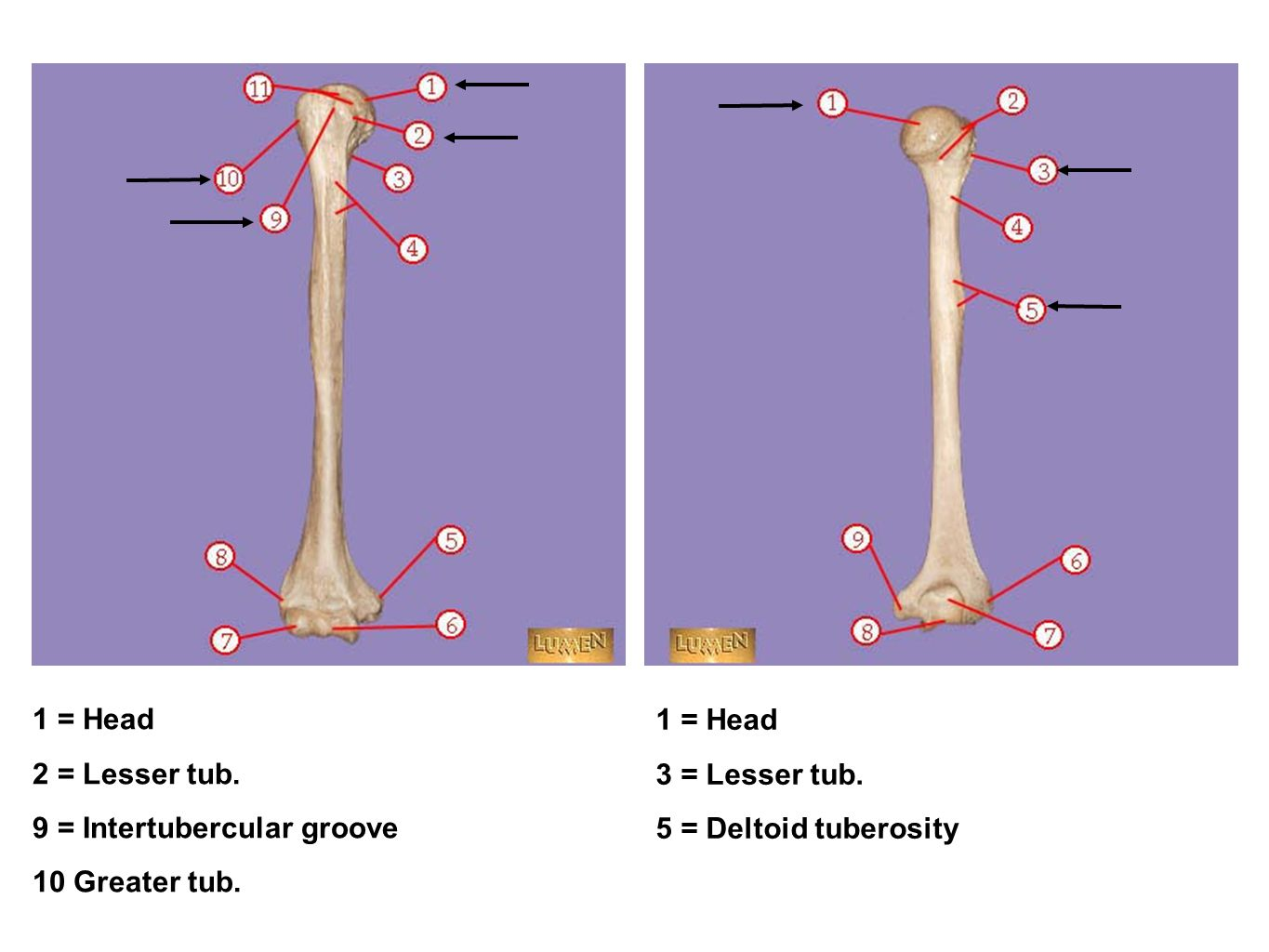 1 = Head 2 = Lesser tub. 9 = Intertubercular groove.