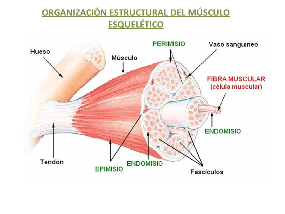 ORGANIZACIÓN ESTRUCTURAL DEL MÚSCULO ESQUELÉTICO - ppt download
