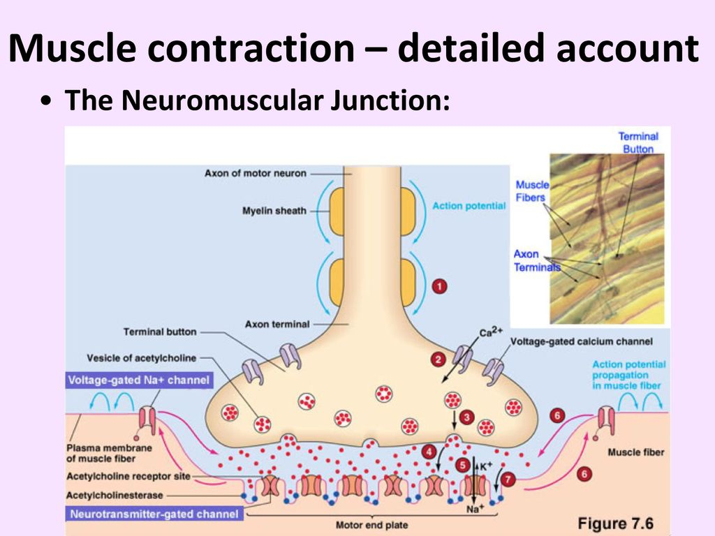 Contraction of Skeletal Muscle - ppt download