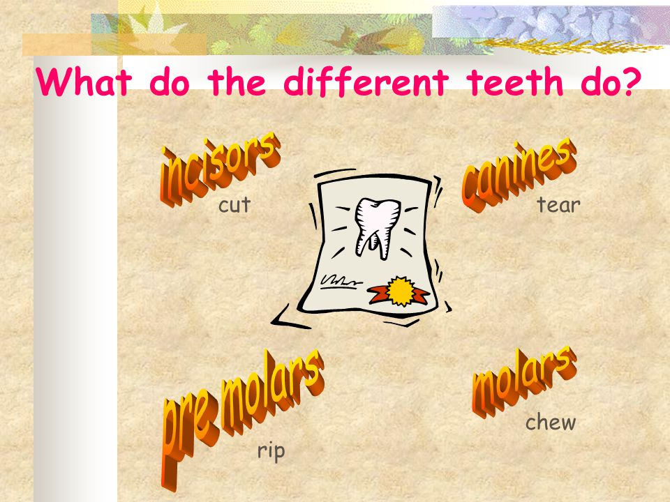 What do the different teeth do