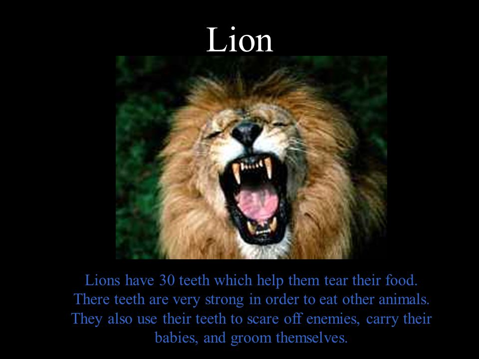 Image of: Smile Lion Buzzfeed Human Teeth Vs Animal Teeth Ppt Video Online Download