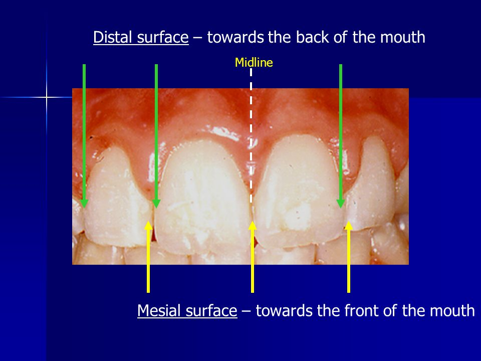 Distal surface – towards the back of the mouth