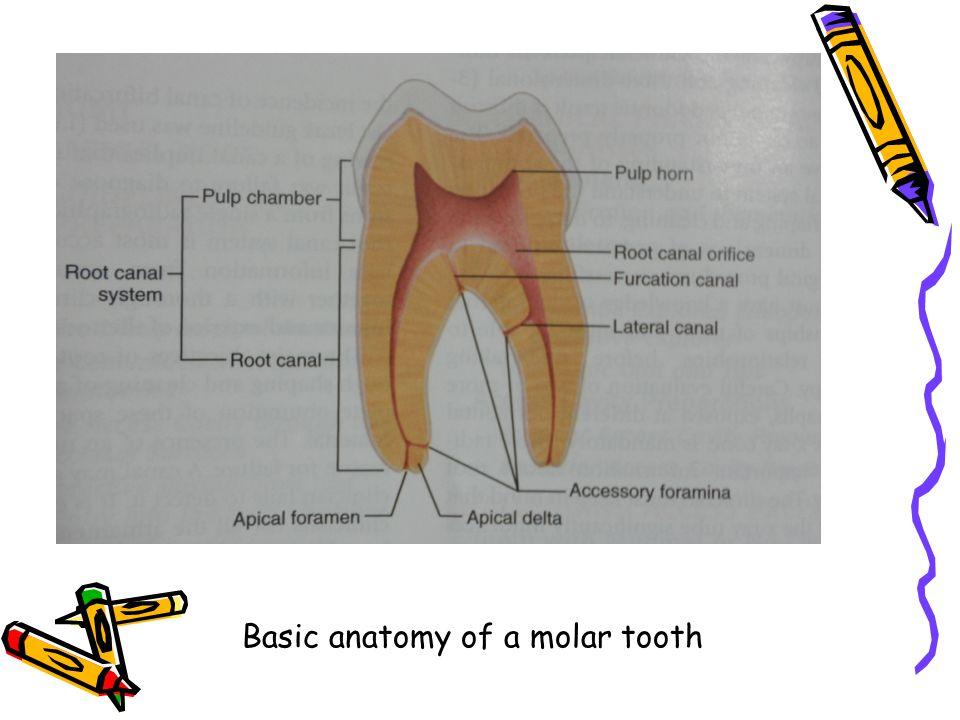 Internal Anatomy Of Teeth Ppt Video Online Download