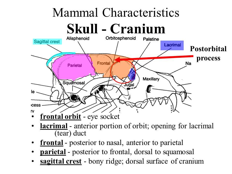 Mammal Skull Anatomy Diagram Schematics Wiring Diagrams