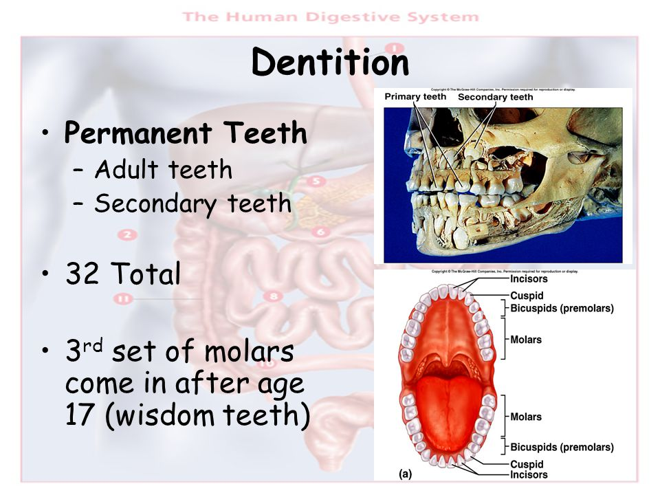 Dentition Permanent Teeth 32 Total