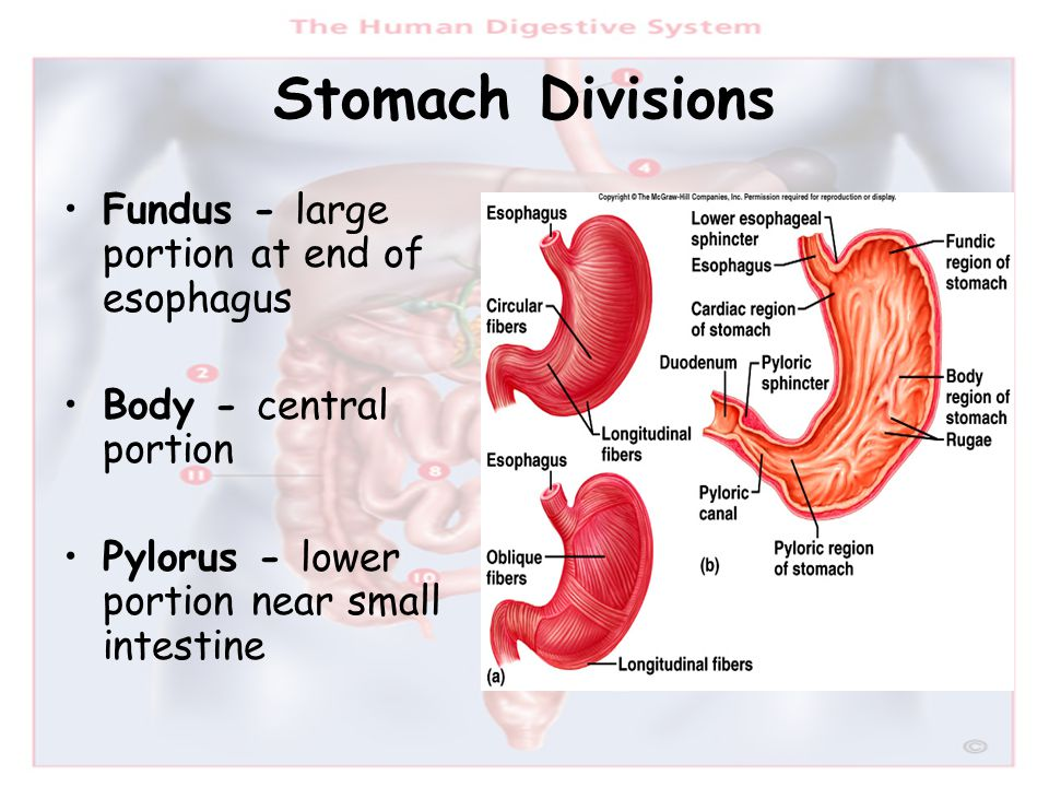 Stomach Divisions Fundus - large portion at end of esophagus