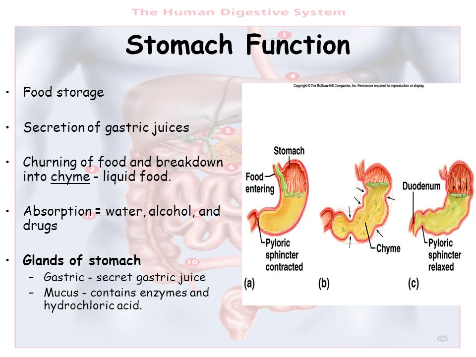Stomach Function Food storage Secretion of gastric juices