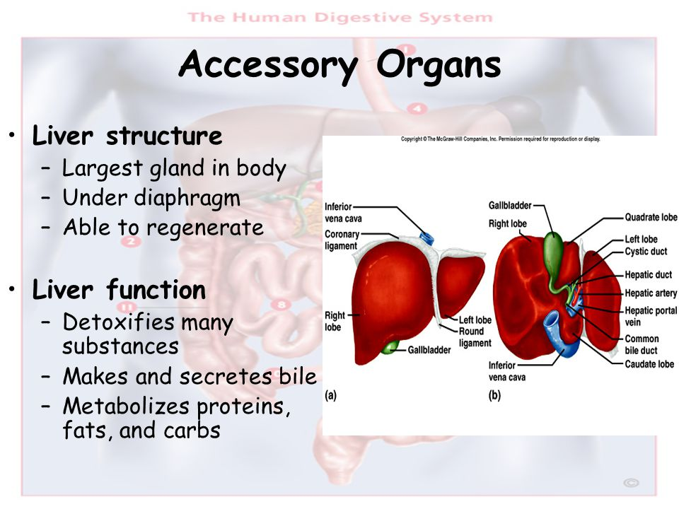 Accessory Organs Liver structure Liver function Largest gland in body