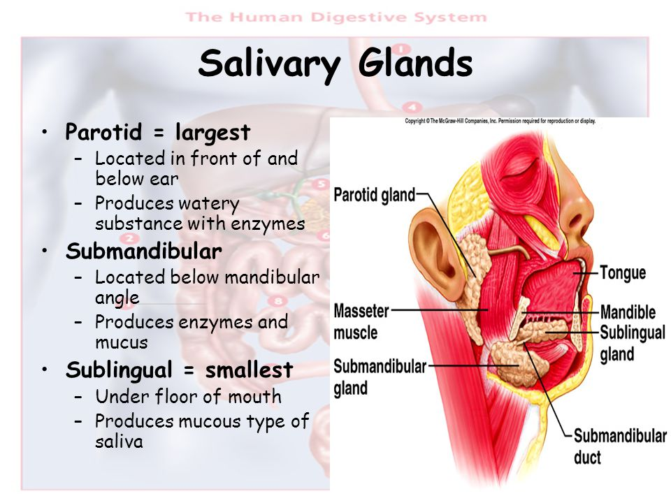 Salivary Glands Parotid = largest Submandibular Sublingual = smallest